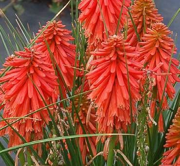 Книпхофия/Книфофия (Kniphofia Poco Red MP84)