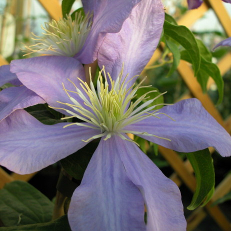 Клематис (Clematis Belle Nantaise BR)