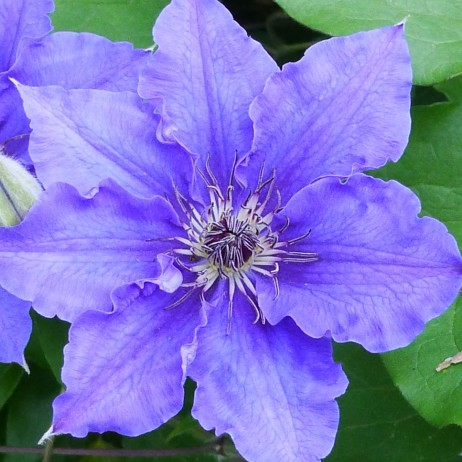 Клематис (Clematis Lord Nevill BR)