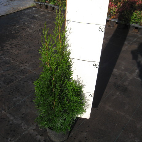 Туя западная (Thuja occidentalis Smaragd C3 60-70)