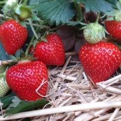 Земляника (Fragaria/Pineberry Christine BR A (9-14 мм))