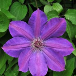 Клематис (Clematis Baltyk BR A)