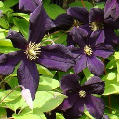 Клематис (Clematis Black prince BR A)