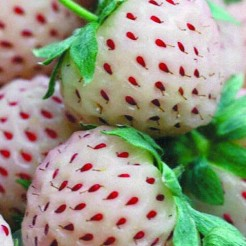 Земляника (Fragaria/Pineberry Ananas BR A (9-14 мм))