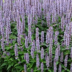 Агастахе (Agastache Blue Fortune МР84)
