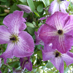 Клематис (Clematis  I AM®TM A LITTLE BEAUTY Zolibe BR)