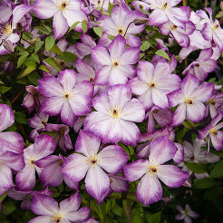 Clematis Pernille P7)