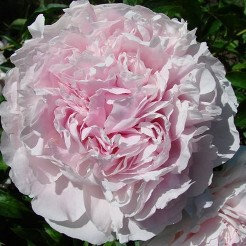 Paeonia Albert Crousse  3-5 eye