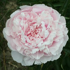 Paeonia Alice Harding  3-5 eye