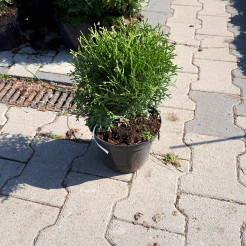Туя западная (Thuja occidentalis Hoseri C2 20-25)